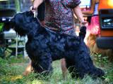 Собаки, щенята Чорний тер'єр, ціна 4500 Грн., Фото