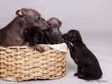 Собаки, щенята Левретка, ціна 5000 Грн., Фото