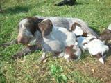 Собаки, щенки Разное, цена 1000 Грн., Фото