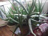 Домашні рослини Алое, ціна 50 Грн., Фото