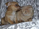 Кошки, котята Хайленд Фолд, цена 400 Грн., Фото