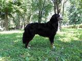 Собаки, щенки Бернская горная собака, цена 1000 Грн., Фото