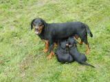Собаки, щенята Стаффордширський бультер'єр, ціна 700 Грн., Фото