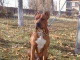 Собаки, щенята Бультер'єр, ціна 2500 Грн., Фото