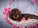 Собаки, щенки Жесткошерстная такса, цена 2400 Грн., Фото