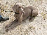 Собаки, щенки Веймарская легавая, цена 123 Грн., Фото