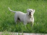 Собаки, щенки Американский бульдог, цена 1400 Грн., Фото