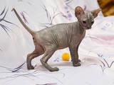 Кошки, котята Донской сфинкс, цена 2000 Грн., Фото