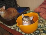 Кошки, котята Сомалийская, цена 4000 Грн., Фото
