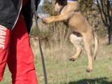 Собаки, щенята Бельгійська вівчарка (Малінуа), ціна 15000 Грн., Фото