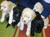 Собаки, щенята Карликовий пудель, ціна 650 Грн., Фото