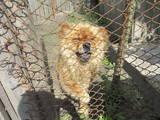 Собаки, щенки Чау-чау, цена 1500 Грн., Фото