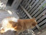 Собаки, щенята Чау-чау, ціна 1500 Грн., Фото
