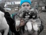 Собаки, щенки Кавказская овчарка, цена 1000 Грн., Фото