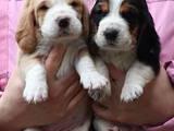 Собаки, щенки Бассет, цена 3000 Грн., Фото