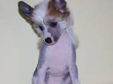 Собаки, щенки Китайская хохлатая собака, цена 5000 Грн., Фото