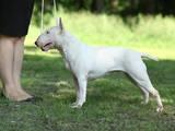 Собаки, щенки Бультерьер, цена 16000 Грн., Фото