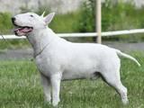 Собаки, щенята Бультер'єр, ціна 16000 Грн., Фото