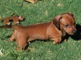 Собаки, щенята Жорсткошерста мініатюрна такса, ціна 2000 Грн., Фото