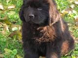 Собаки, щенята Ньюфаундленд, ціна 7000 Грн., Фото