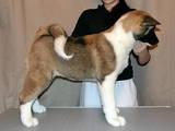 Собаки, щенята Американський акіта, ціна 12000 Грн., Фото