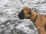 Собаки, щенята Боксер, ціна 800 Грн., Фото