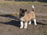 Собаки, щенки Американский акита, цена 5000 Грн., Фото