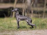 Собаки, щенки Левретка, цена 15000 Грн., Фото