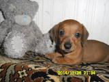 Собаки, щенки Гладкошерстная кроличья такса, цена 800 Грн., Фото