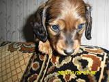 Собаки, щенки Длинношерстная кроличья такса, цена 800 Грн., Фото
