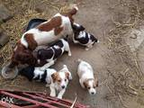 Собаки, щенки Английский спрингер спаниель, цена 3200 Грн., Фото