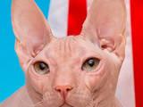 Кішки, кошенята Спаровування, ціна 1500 Грн., Фото