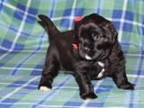 Собаки, щенята Ньюфаундленд, ціна 10500 Грн., Фото