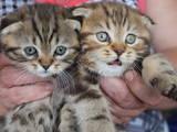 Кошки, котята Экзотическая короткошерстная, цена 3500 Грн., Фото