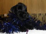 Собаки, щенята Різеншнауцер, ціна 9000 Грн., Фото