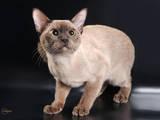 Кішки, кошенята Бурма, ціна 15000 Грн., Фото