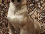 Собаки, щенки Американский акита, цена 2000 Грн., Фото