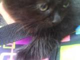 Кішки, кошенята Персидська, ціна 350 Грн., Фото