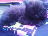 Кошки, котята Персидская, цена 350 Грн., Фото