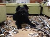 Собаки, щенята Цвергшнауцер, Фото
