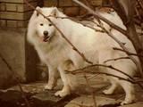 Собаки, щенки Самоед, Фото