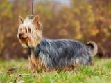 Собаки, щенята Австралійський шовковистий тер'єр, ціна 8000 Грн., Фото