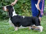 Собаки, щенята Бассет, ціна 20000 Грн., Фото