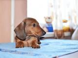 Собаки, щенята Гладкошерста мініатюрна такса, ціна 3000 Грн., Фото