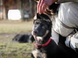Собаки, щенки Восточно-Европейская овчарка, цена 4000 Грн., Фото