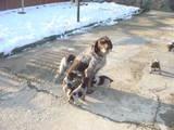 Собаки, щенята Різне, ціна 1250 Грн., Фото