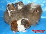 Гризуни Морські свинки, ціна 100 Грн., Фото