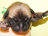 Собаки, щенки Бульмастиф, цена 10000 Грн., Фото
