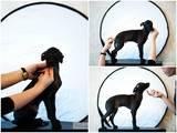 Собаки, щенята Левретка, ціна 4000 Грн., Фото