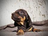 Собаки, щенята Гладкошерста кроляча такса, ціна 2000 Грн., Фото